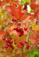 geschenken van de herfst. viburnum