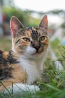 kattenportret zittend op gras