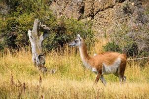 guanaco, nationaal park orres del paine, chili