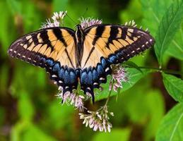 zwaluwstaartvlinder in Shenandoah National Park, Virginia.