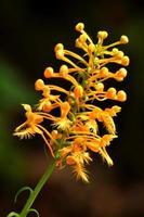 gele omzoomde orchidee tegen een donkere achtergrond.
