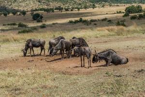 gnoe, pilanesberg nationaal park. Zuid-Afrika. 29 maart 2015 foto