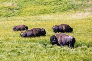 bizons in Yellowstone National Park, Wyoming, Verenigde Staten