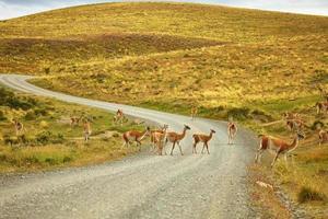guanacoes in het natuurpark Torres del Paine