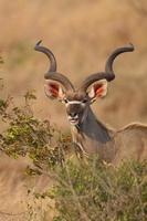 grotere kudu in kruger nationaal park foto