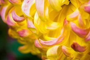 chrysant macro foto