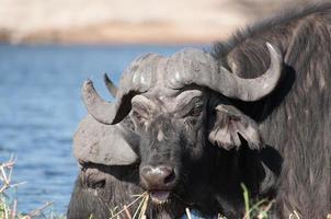 buffels grazen op sidudu-eiland