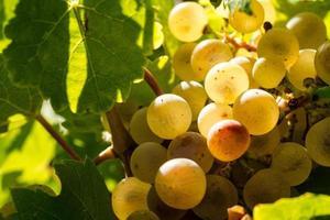 witte wijndruiven foto