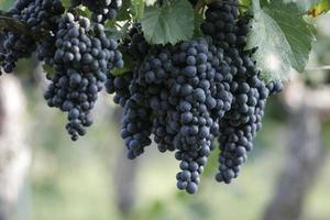 zwarte druiven aan de wijnstok foto