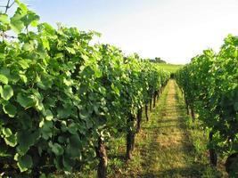 franse wijngaard