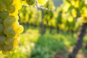 close-up wijndruiven in de achtergrondverlichting foto