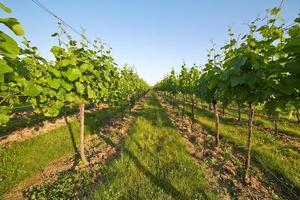 wijngaard in zonnige lente