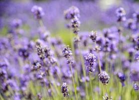 veel lavendel in het veld 3 foto