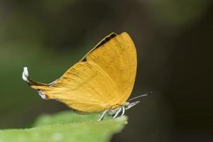 gemeenschappelijke yamfly vlinder