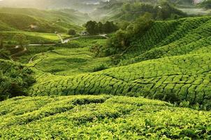 uitzicht op theeplantage tijdens de ochtend. selectieve aandacht