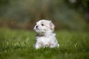 Maltees puppy