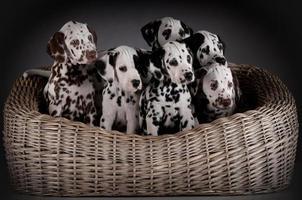 Dalmatische puppy's foto