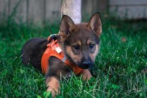 Duitse herder pup foto