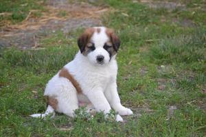 st. bernard pups