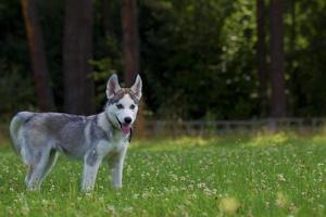 puppy siberische husky. foto