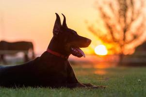 doberman hond puppy