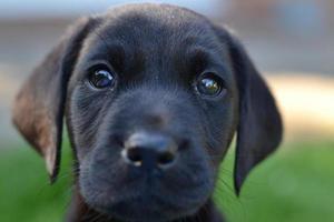 schattige labrador puppy foto