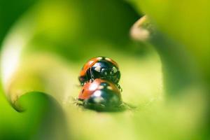 twee lieveheersbeestje op groen blad foto