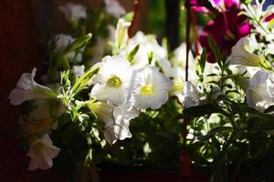 witte petunia's foto