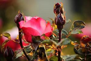 rosa nostalgie - roos
