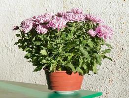 magenta chrysant bloempot