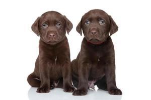 chocolade labrador puppy's foto