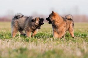eurasier puppy's spelen foto