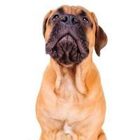 bullmastiff puppy luid blaffen foto