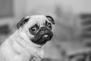 mops portret, zwart-wit fotografie