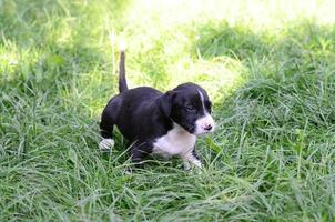 amerikaanse staffordshire terrier hond