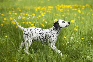 Dalmatische pup in de wei met bloemen