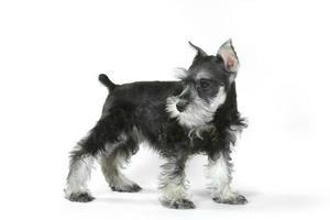 zijwaarts miniatuurschnauzer puppyhond op wit foto