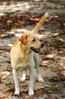 bruine labrador retriever foto