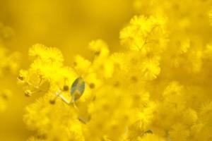 gouden acacia bloemen