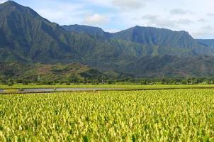 kauai taro velden foto