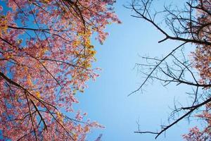 tak van de Himalaya-kers (prunus cerasoides) in bloei foto