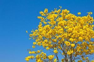 gele tabebuia-bloem