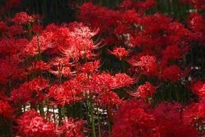 cluster amarylis in de kijker foto
