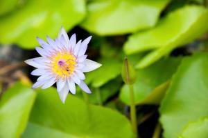 de blauwe lotus.