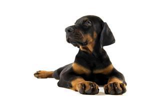 puppy van doberman pincher