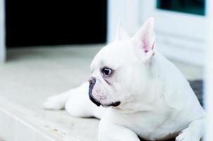 Franse bulldog wacht op de man foto