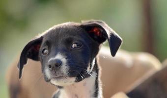 schattige puppy's van amstaffhond, dierenthema