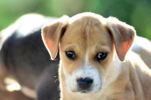 schattige amstaff puppy op ochtendzon