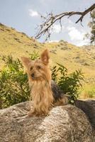 yorkshire terrier op een steen