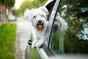 jonge hond kijkt uit het autoraam